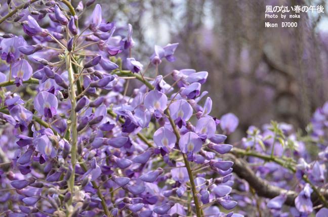 20110430_ashikaga-flower68.jpg